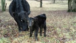 DSC SimShorthorn Bull Calf 1504C 78 lbs