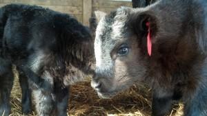 Calves born Jan 2013