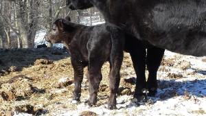DSC Simshorthorn Bull Calf